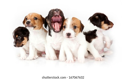 Five Jack Russell Puppies in the studio