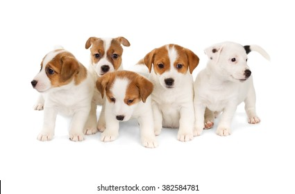 Five Jack Russell Terrier puppies isolated on white background. Front view, sitting.