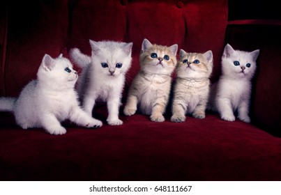 Five kittens of British Shorthair breed are sitting on the red couch
