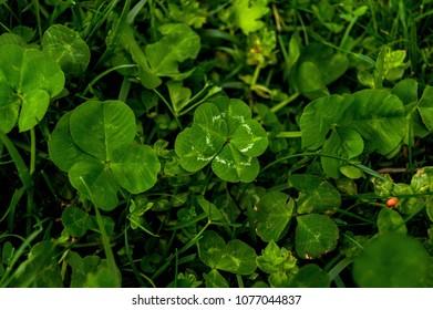 Five Leaf Clover Images Stock Photos Vectors