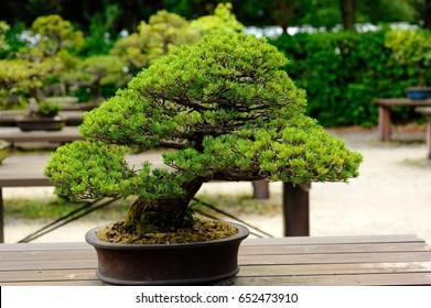 Bonsai Trees Outdoors Hd Stock Images Shutterstock
