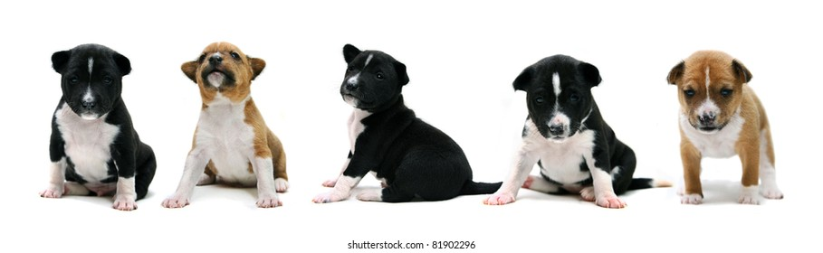 Five little Basenji puppy, 3 weeks, on the white background