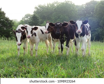 Five little calves all in a line, very curious about the camera.