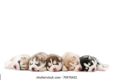 five little cute sleeping puppy of Siberian husky dog isolated