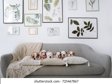 Five little puppies of the English bulldogs lie on a big sofa in studio