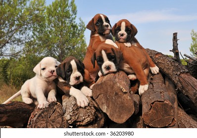 five little purebred puppies boxer together on the wood