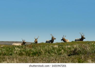 Five Male Tule Elk Rest Atop Hill