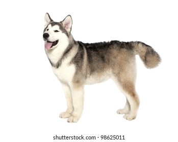 Five month old alaskan malamute puppy against white background