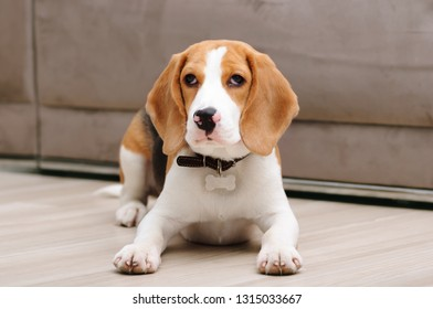 Five month old beagle puppy lying on the floor inside house