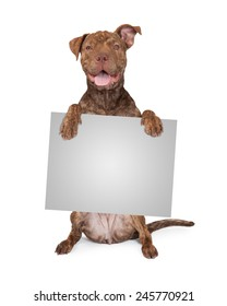 Five month old Pit Bull and Shar Pei mixed breed dog sitting up and holding a blank sign to enter text onto