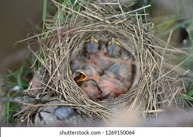 Five newborn baby birds of the Song Thrush (Turdus Philomelos) in the nest in their natural habitat. Fauna of Ukraine. (Shallow depth of field, close-up).