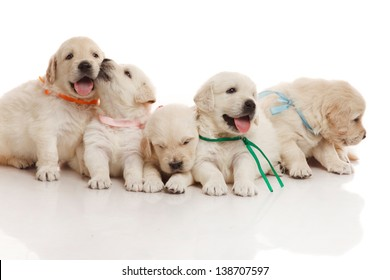 Five one month old cute puppies of golden retriever
