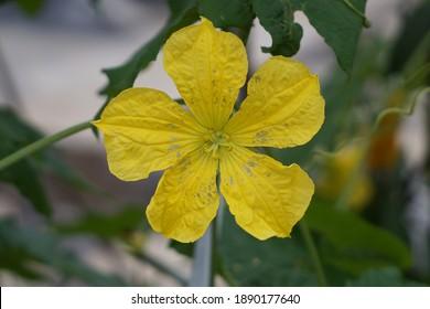 Five Petal of Big Yellow Cucumber Flower