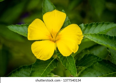 Five petal flower of Turnera diffusa called Damiana with vegetation background.
