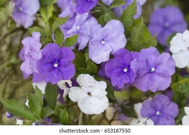 Five petal flowers of nightshade plant, Brunfelsia pauciflora.