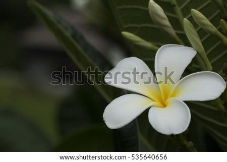 Five petal white flower frangipani plumeria stock photo edit now five petal white flower frangipani plumeria with yellow center on the green leaf background mightylinksfo