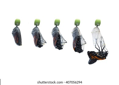 Five photos showing the birthing process of a newborn butterfly. Stages from right before the chrysalis hatches to the first drop out of the butterfly. Pure white, horizontal background, copy space.