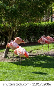 Five pink flamingos standing on one leg in the shade of a small tree taking a nap in the afternoon.