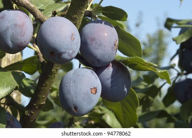 Five plums on the branch of a trees in an orchard