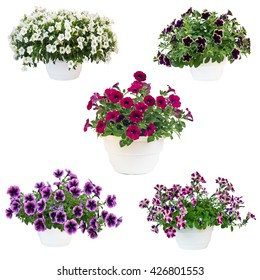 five pots of petunias pot, isolated on a white background