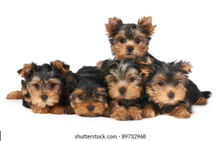 Five puppies of the Yorkshire Terrier isolated on white