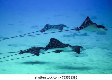 Five Rays Swim Above Sandy Ocean Bottom