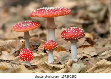 Five red mushrooms fungi between autumn leaves