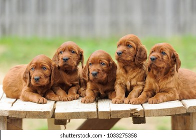 Five red setter puppies lie on wooden table, outdoors, horizontal