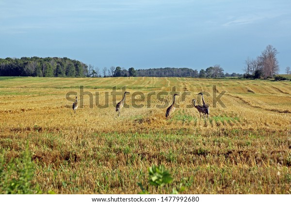 Five Sandhill Cranes in a recently harvested field