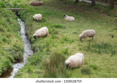 Five Scottish blackface sheep grazing in a field in Brittany