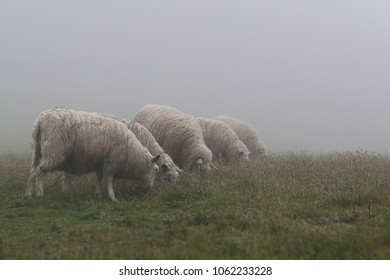 Five sheep grazing on a misty morning.