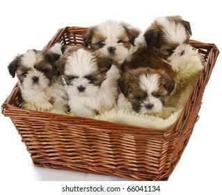 five shih tzu puppies in a basket on white background