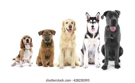 Five sitting dogs in row, from small to large, isolated on white