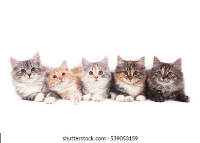 Five small Siberian  kittens on white background. Cats lying