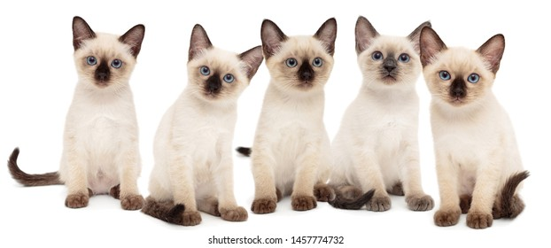 Five small Thai kittens , isolated on white
