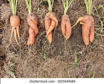 five Ugly carrots on the ground . Ugly food concept, top view.