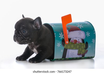 five week old french bulldog puppy in a mailbox on white background