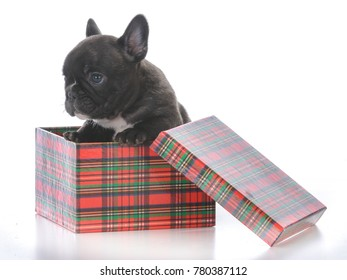 five week old french bulldog in a gift box on white background