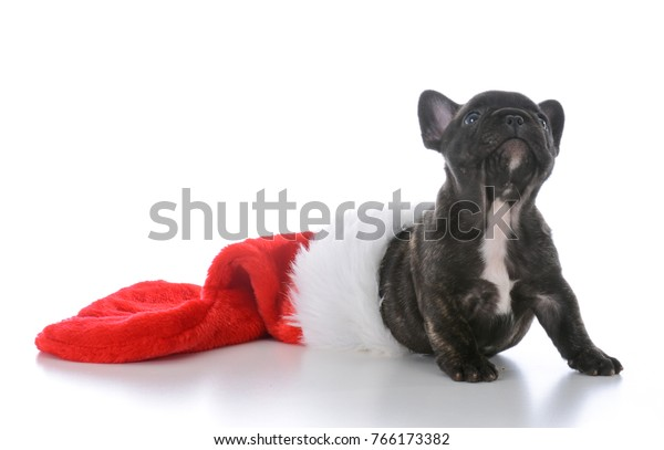 French Bulldog Christmas Stocking.Five Week Old French Bulldog Inside Stock Photo Edit Now