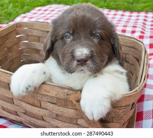 Five week old Newfoundland puppy sitting in a picnic basket outdoors.