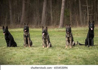 Five working line German shepherds sitting in line