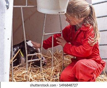 Five year old girl petting a very young,  black and white calf, while wearing a red overall