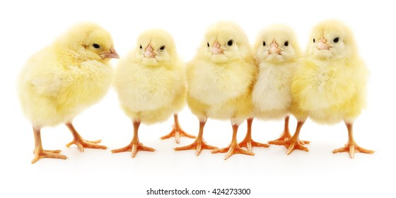Five yellow chickens isolated on white background.