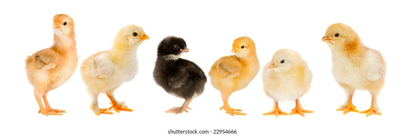 Five yellow chicks and one chick black on white background