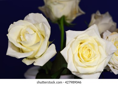 Five yellow roses against a dark blue background.
