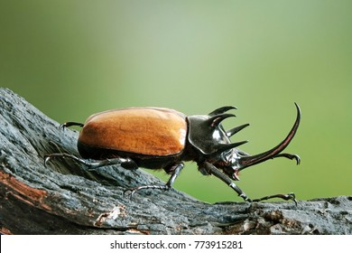 Five-horned rhinoceros beetle (Eupatorus gracilicornis) also known as Hercules beetles, Unicorn beetles, or Horn beetles. Selective focus, blurred nature green background. Beetles / Insects / Bugs