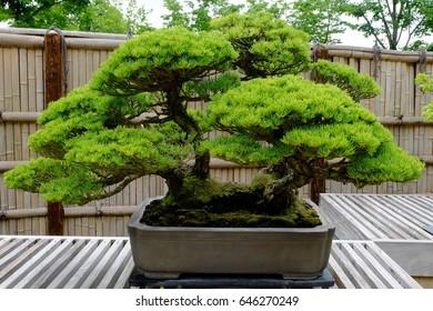 Five-needle pine (Pinus parviflora, or Japanese white pine) bonsai tree