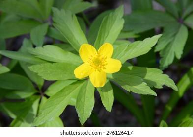 5 petal flower images stock photos vectors shutterstock five petal yellow buttercup top view creeping buttercup ranunculus repens in mightylinksfo