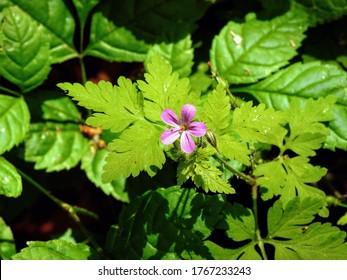 Five-petaled purple flower of Herb-Robert geranium (Geranium robertianum) plant growing in woodland