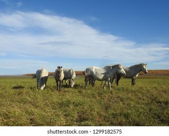Fiver Siberian horses in grassland